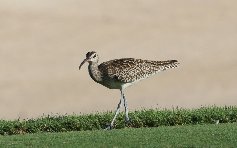 RARE BIRD SPOTTED AT SAADIYAT BEACH GOLF CLUB
